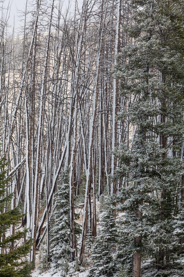 Bosque quemado en invierno imagen de archivo libre de regalías
