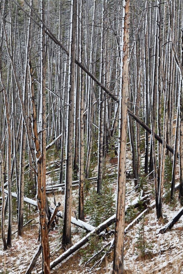 Bosque quemado en nieve del invierno foto de archivo libre de regalías