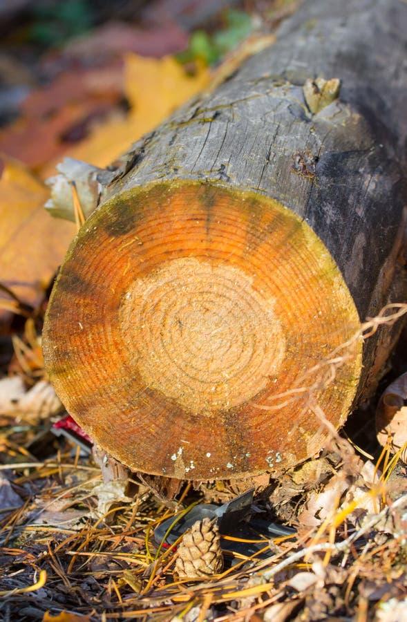 Bosque reducido Árboles de pino que mienten en el bosque después de la tala de árboles, leña imagen de archivo libre de regalías