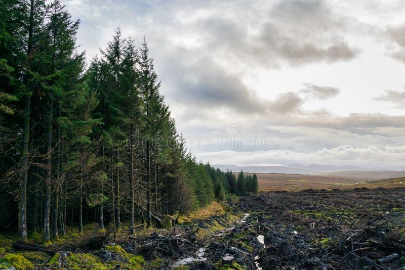 Bosque reducido del pino foto de archivo libre de regalías