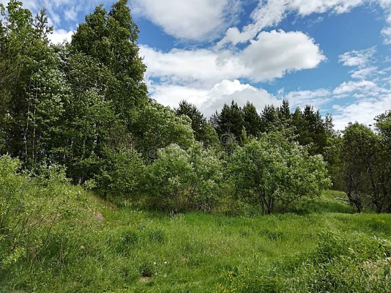 Bosque ruso en verano imagenes de archivo