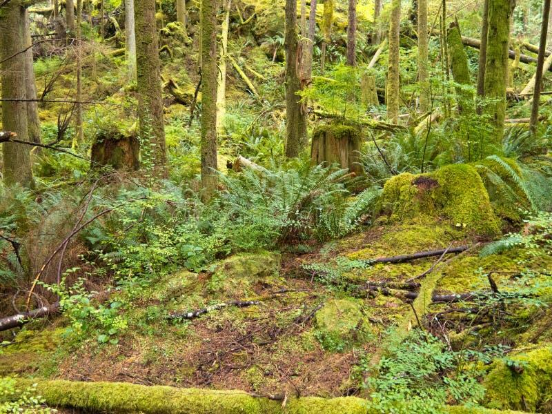 Bosque secundário verde luxúria da floresta húmida BC em Canadá foto de stock