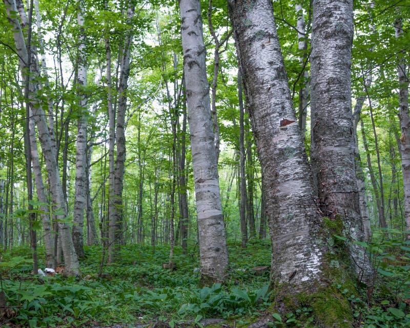 Bosque sombrío del árbol de hoja caduca del abedul con las hojas verdes en el parque de estado del desierto de montañas del puerc fotografía de archivo
