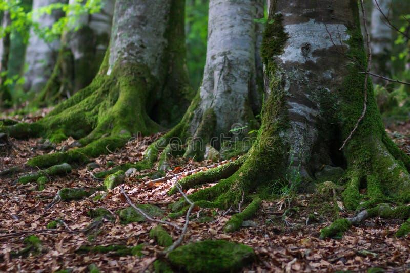 Bosque Spruce iluminado por el sol del ?rbol imagen de archivo