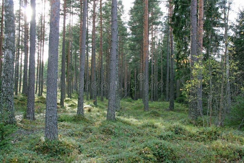 Bosque Sunlit del pino con el arbusto verde fotos de archivo