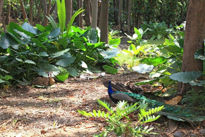 Download Bosque tropical foto de archivo. Imagen de selva, peacock - 44851162
