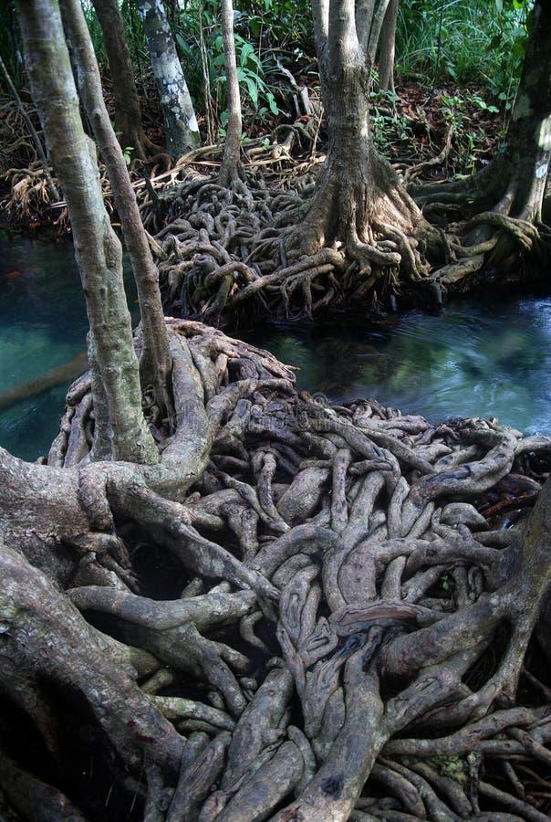 Bosque tropical del mangle fotografía de archivo libre de regalías