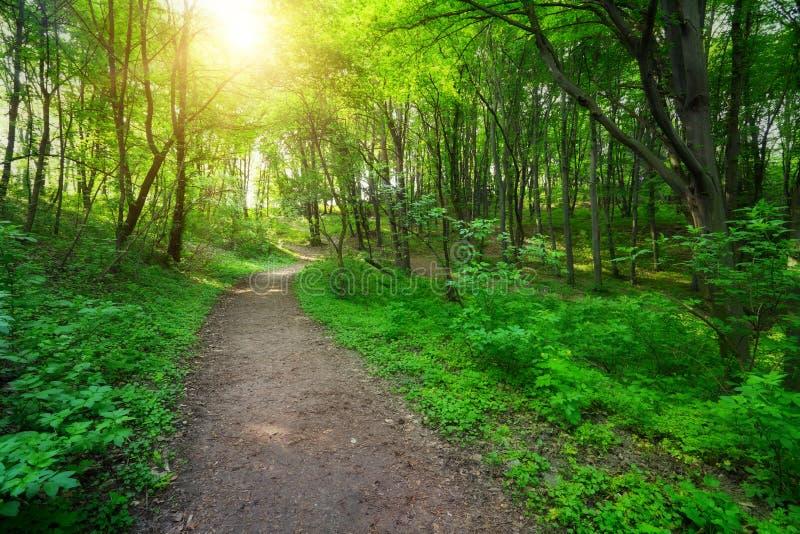Bosque verde con camino y la luz del sol imagenes de archivo