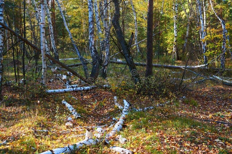 Bosque verde de hojas caducas del abedul denso con los árboles caidos en tiempo soleado Área de la protección del bosque Parque n foto de archivo libre de regalías