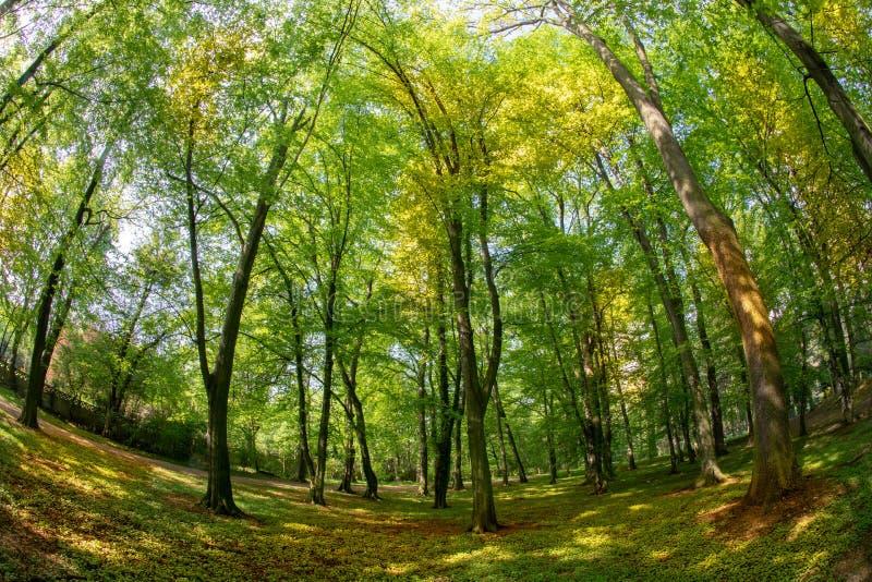 Bosque verde de la haya en primavera Luz del sol Lente de Fisheye fotos de archivo libres de regalías