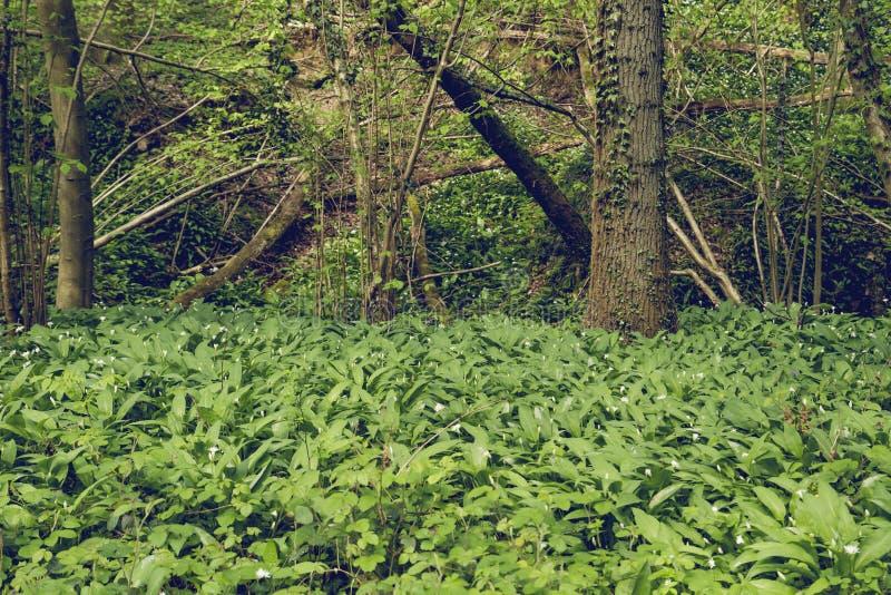 Bosque verde de la primavera con el ajo del oso salvaje fotos de archivo libres de regalías