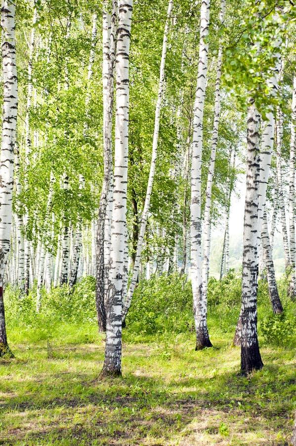 Bosque verde del abedul del verano fotografía de archivo libre de regalías