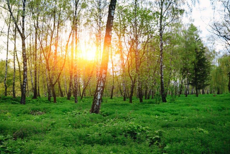Bosque verde en el sol y los rayos de sol de la salida del sol de la puesta del sol fotografía de archivo libre de regalías