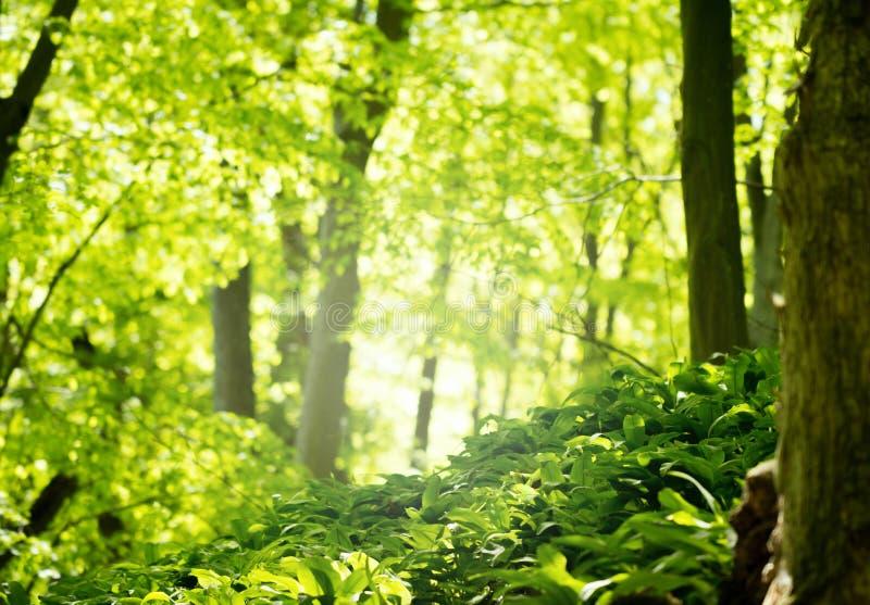 Bosque verde en estación de primavera foto de archivo
