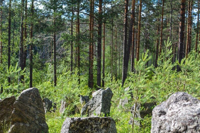 Bosque verde en la línea de la Segunda Guerra Mundial, región de Leningrad, Rusia de la defensa imagenes de archivo
