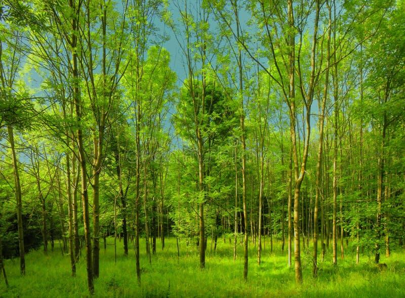 Bosque verde fresco en la luz del día de la primavera fotos de archivo libres de regalías