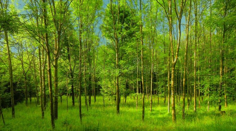 Bosque verde fresco en la luz del d?a de la primavera foto de archivo