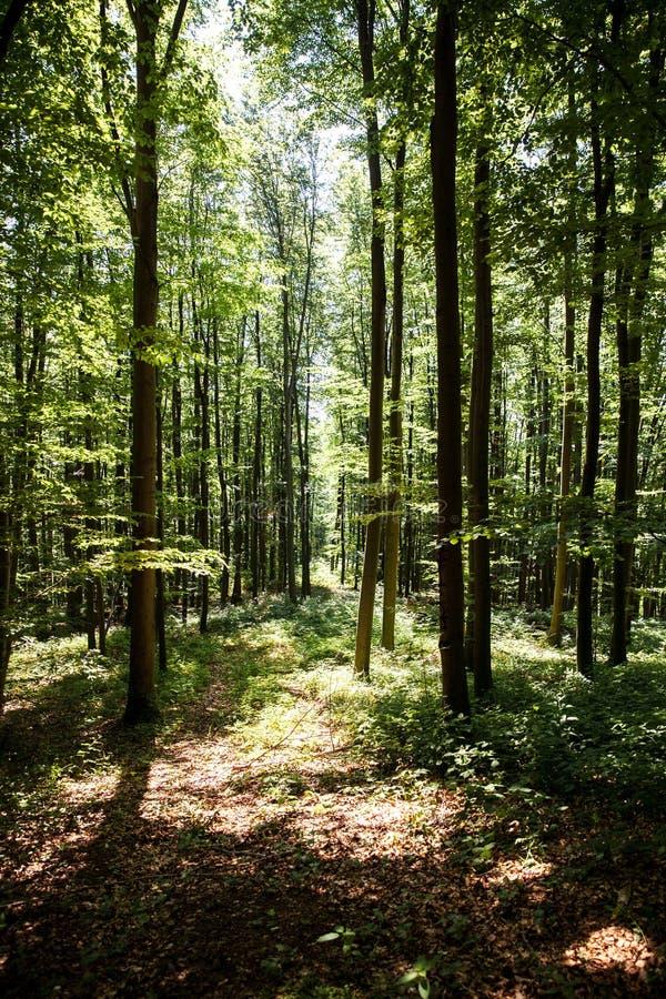Bosque verde hermoso foto de archivo libre de regalías