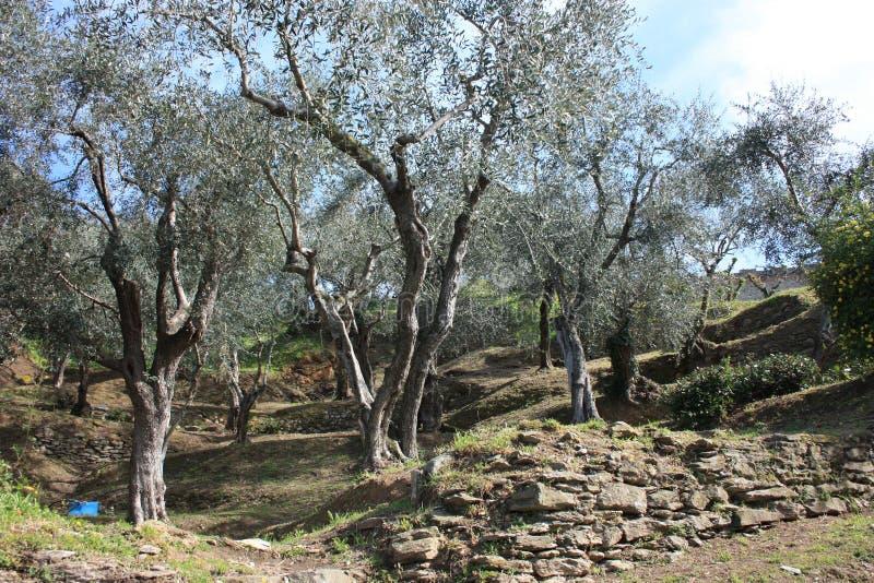 Bosque verde-oliva verde e grande completamente das oliveiras, das plantas completas das folhas e dos frutos A chegada da mola imagens de stock