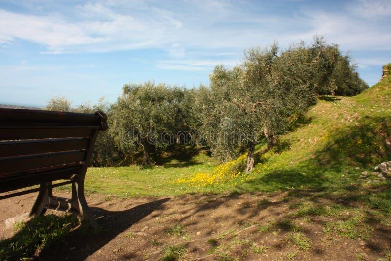 Bosque verde-oliva verde e grande completamente das oliveiras, das plantas completas das folhas e dos frutos A chegada da mola imagem de stock