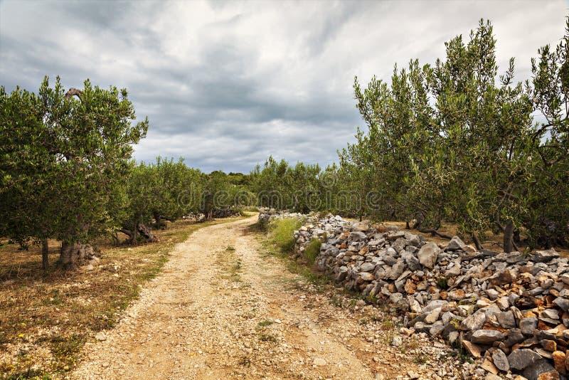 Bosque verde-oliva em Sumartin fotografia de stock