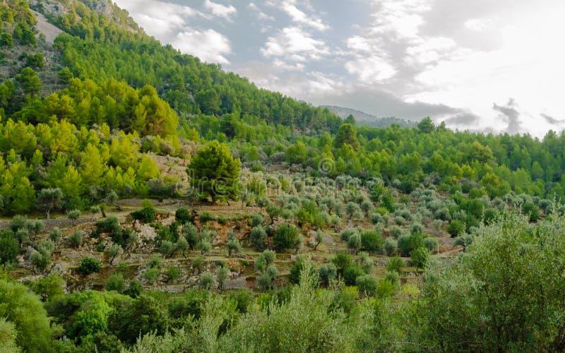 Bosque verde-oliva em terraços perto da montanha imagens de stock royalty free