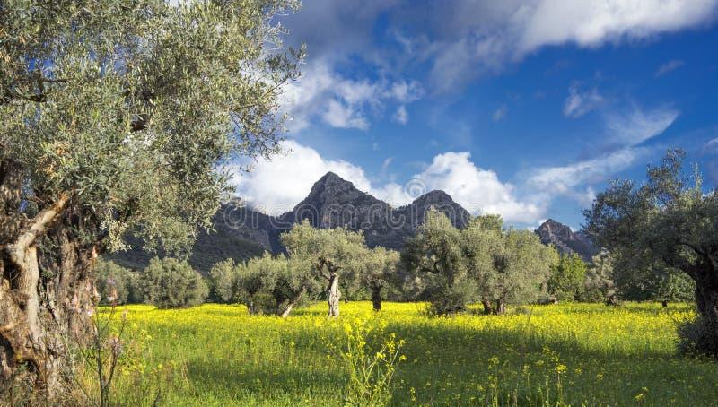 bosque verde-oliva na ilha de Mallorca fotos de stock