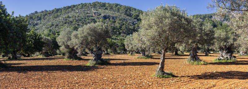bosque verde-oliva na ilha de Mallorca imagem de stock royalty free