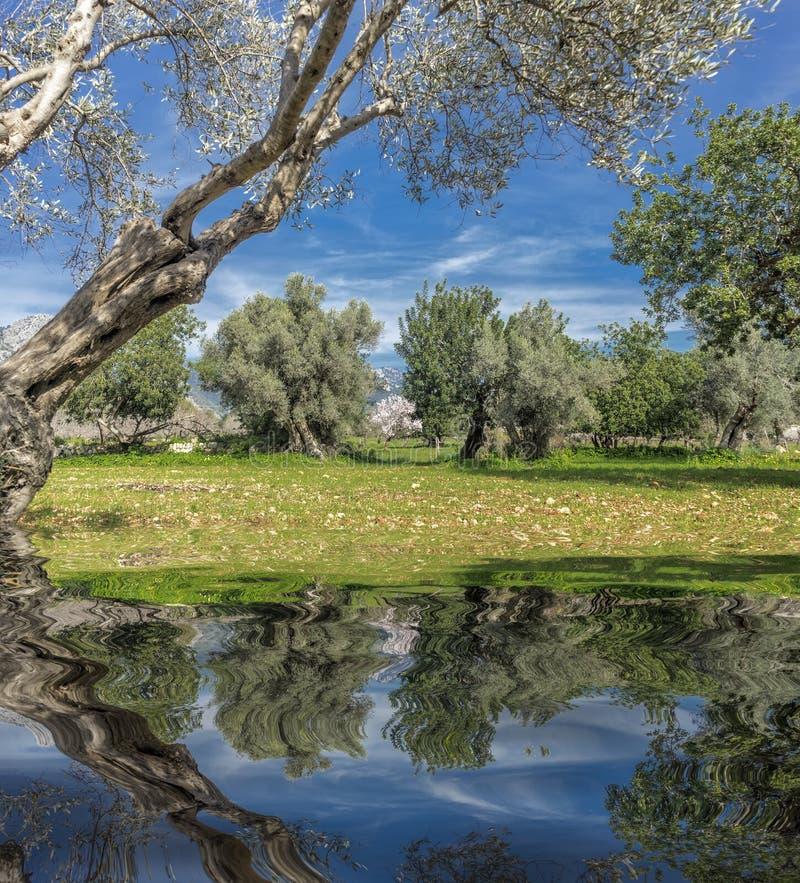 bosque verde-oliva na ilha de Mallorca imagens de stock