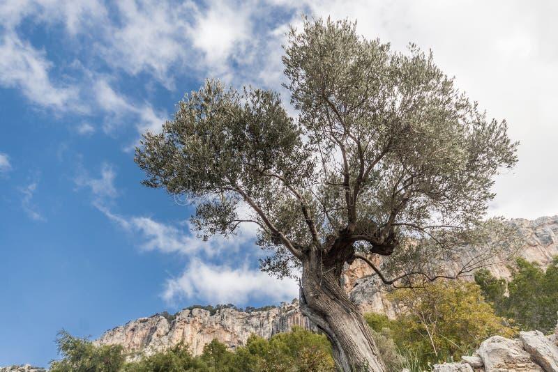 bosque verde-oliva na ilha de Mallorca imagem de stock