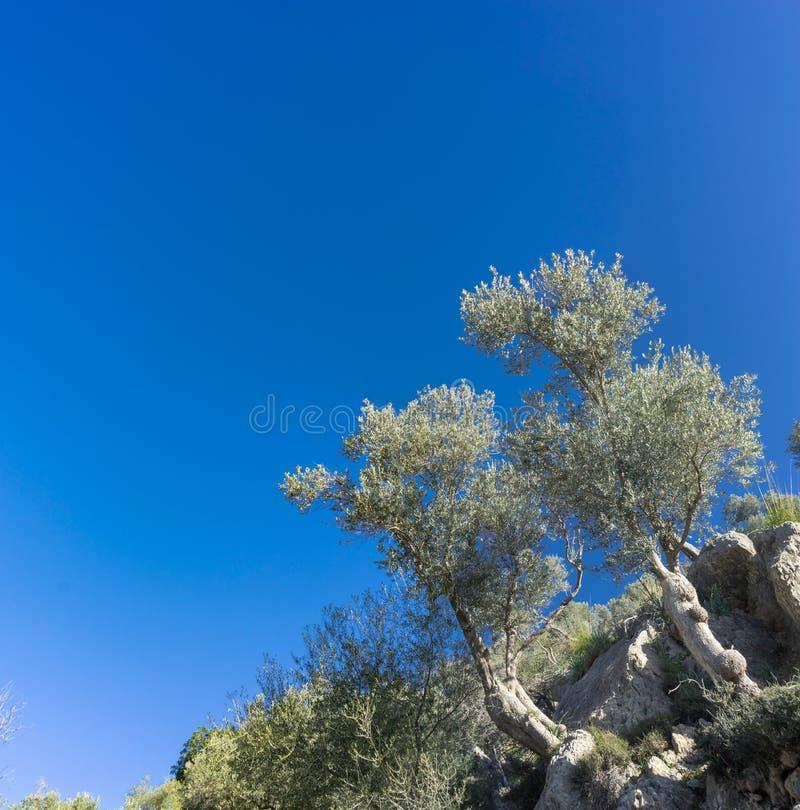 bosque verde-oliva na ilha de Mallorca fotografia de stock royalty free
