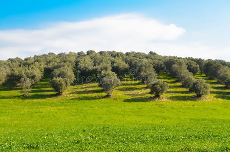 Bosque verde-oliva no campo de Lazio fotos de stock royalty free