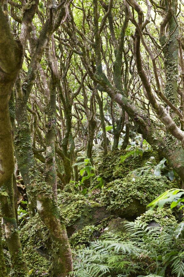 Bosque verde subtropical en la isla de Flores, archipiélago de Azores P fotos de archivo
