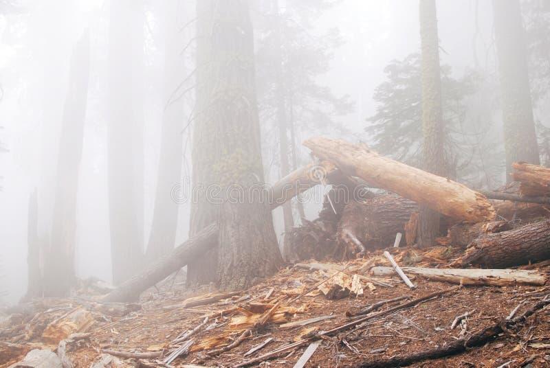 Bosque viejo del misterio en niebla densa foto de archivo libre de regalías