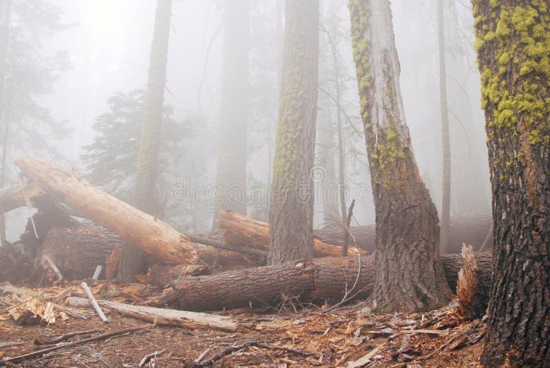 Bosque viejo en niebla densa foto de archivo