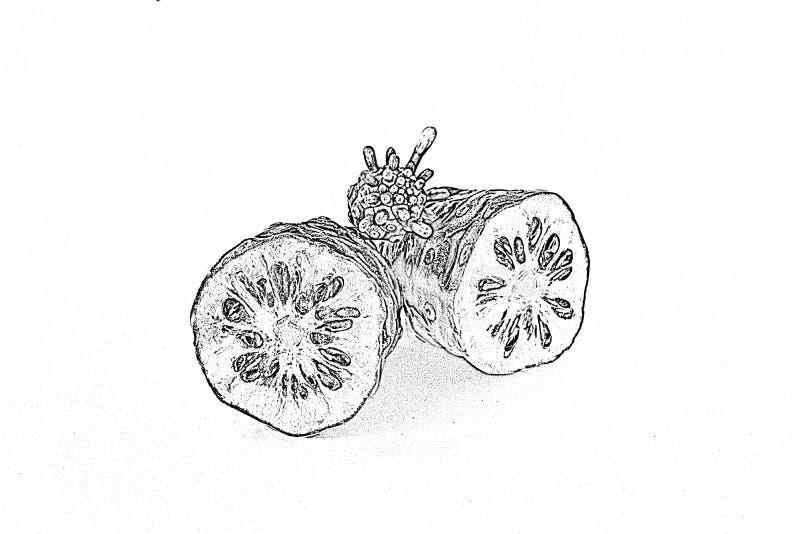 Bosqueje la rebanada del noni que dos pedazos con crecen noni en aislado ilustración del vector