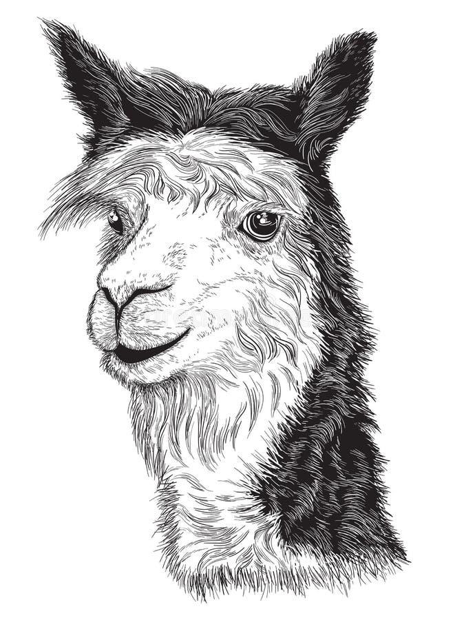 Bosquejo de la cara de una alpaca stock de ilustración