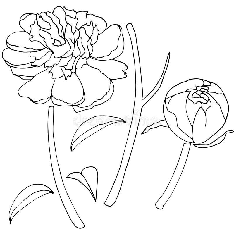 Bosquejo de la flor de la peonía fotos de archivo libres de regalías
