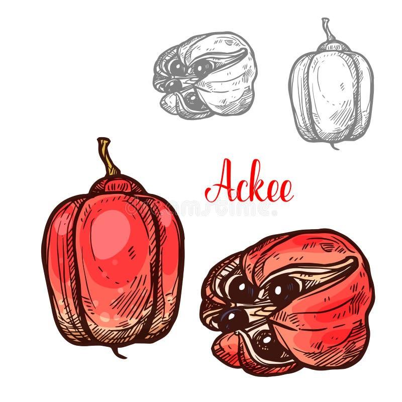 Bosquejo de la fruta tropical del Ackee para el diseño exótico de la comida ilustración del vector