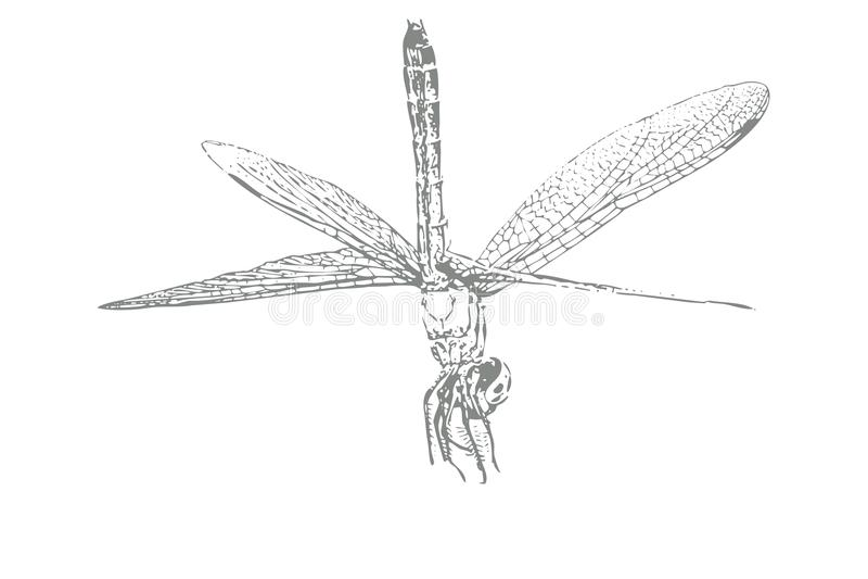 Bosquejo de la libélula en el fondo blanco imagenes de archivo