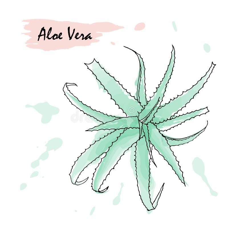 Bosquejo de la mano del ejemplo del vector de Vera del áloe en el fondo blanco stock de ilustración