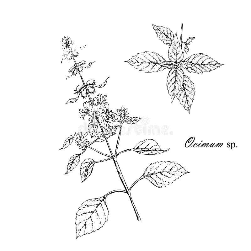 Bosquejo de la planta de la albahaca Ramas de la planta medicinal de la albahaca de la cocina Tinta monocromática dibujada mano stock de ilustración