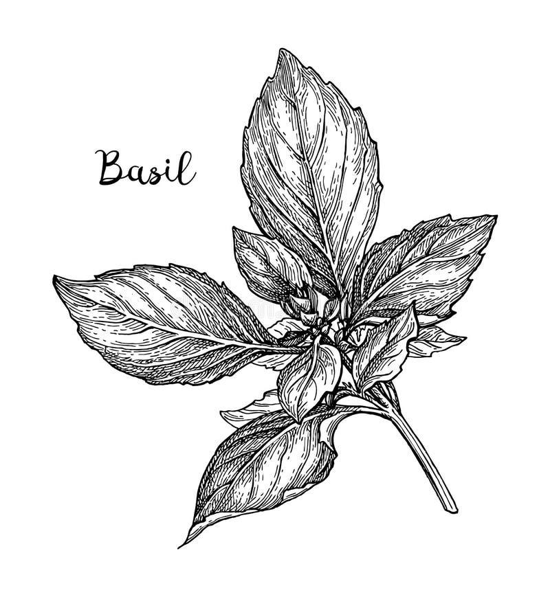 Bosquejo de la tinta de la albahaca stock de ilustración
