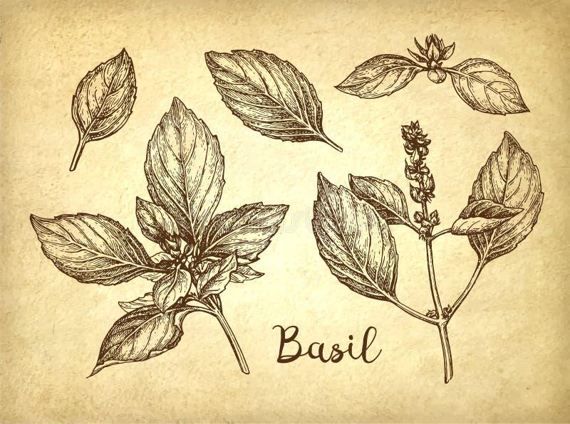 Bosquejo de la tinta de la albahaca libre illustration