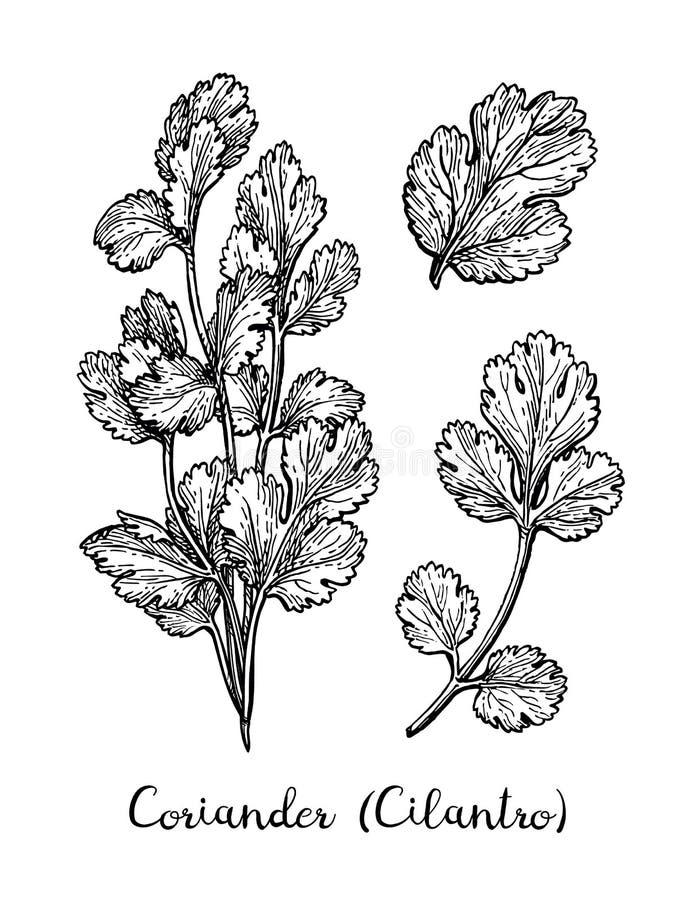 Bosquejo de la tinta del coriandro ilustración del vector