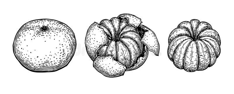 Bosquejo de la tinta de la mandarina ilustración del vector