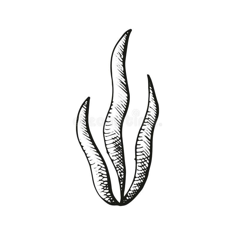 Bosquejo de las algas stock de ilustración