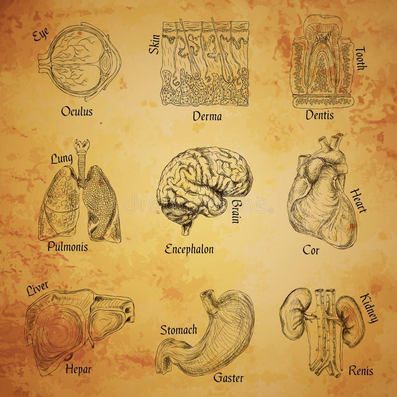 Bosquejo de los órganos humanos stock de ilustración