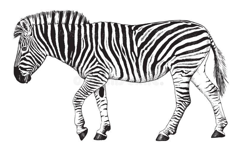 Bosquejo de una cebra que camina ilustración del vector