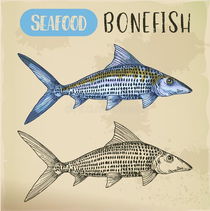 Bosquejo del Bonefish o mariscos dibujados mano stock de ilustración
